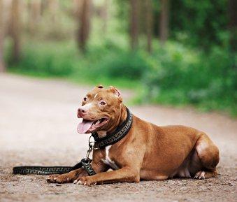 Haltung von Kampfhunden: Wann ist der Hundeführerschein verpflichtend?